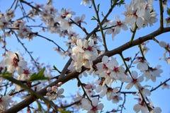 Fleur d'arbre d'amandes, printemps dans le verger, fond de nature avec le skyÑŽ bleu image stock