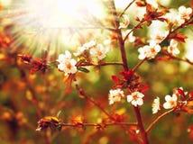 Fleur d'arbre d'amande photographie stock libre de droits