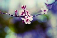 Fleur d'arbre d'amande Photos stock