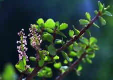 Fleur d'arbre d'argent photo libre de droits