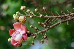 Fleur d'arbre de bille de canon Image libre de droits