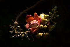 Fleur d'arbre de boulet de canon photos stock