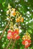 Fleur d'arbre de boulet de canon photographie stock