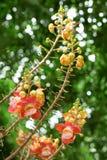 Fleur d'arbre de boulet de canon image libre de droits