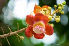 Fleur d'arbre de boulet de canon photo stock