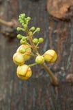 Fleur d'arbre de boulet de canon photo libre de droits