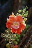 Fleur d'arbre de Canonball Photographie stock libre de droits