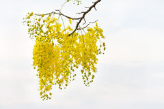 Fleur d'arbre de douche d'or Photo libre de droits
