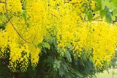 Fleur d'arbre de douche d'or Photos libres de droits