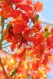 Fleur d'arbre de flamme Images libres de droits