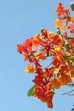 Fleur d'arbre de flamme Image libre de droits
