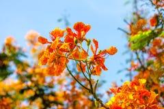 Fleur d'arbre de flamme Photographie stock libre de droits