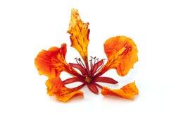 Fleur d'arbre de flamme d'isolement Photo libre de droits