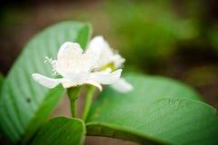 Fleur d'arbre de goyave Photo stock