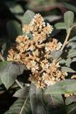 Fleur d'arbre de JaponicaNispero d'Eriobotrya image stock
