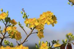Fleur d'arbre de l'AMI de Hoa (Ochna Integerrima) Photos libres de droits