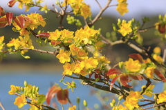 Fleur d'arbre de l'AMI de Hoa (Ochna Integerrima) Images libres de droits