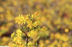 Fleur d'arbre de l'AMI de Hoa (Ochna Integerrima) Photographie stock libre de droits