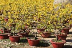 Fleur d'arbre de l'AMI de Hoa (Ochna Integerrima) Image stock