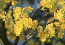 Fleur d'arbre de l'AMI de Hoa (Ochna Integerrima) Photos stock