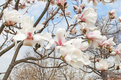 Fleur d'arbre de magnolia Photo stock
