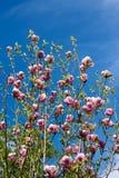 Fleur d'arbre de magnolia dans le printemps Photos stock