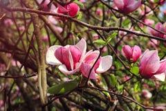 Fleur d'arbre de magnolia le ressort Photos stock