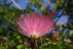 Fleur d'arbre de pluie photographie stock libre de droits