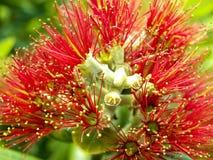 Fleur d'arbre de Pohutukawa Photos stock