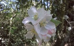 Fleur d'arbre de pomme sauvage dans la région boisée Photos libres de droits