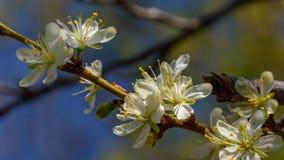 Fleur d'arbre de pruneau photographie stock