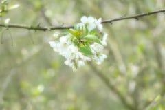 Fleur 001 d'arbre de ressort Photographie stock libre de droits