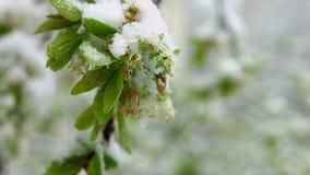 Fleur d'arbre de ressort couverte de neige pendant le cyclone soudain de neige d'avril dans Moldau banque de vidéos