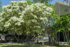 Fleur d'arbre de retusus de Chionanthus photo libre de droits
