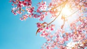 fleur d'arbre de Sakura sur le ciel bleu images libres de droits