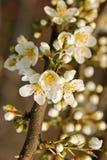 Fleur d'arbre de source Photo libre de droits