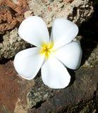 Fleur d'arbre de temple photos stock