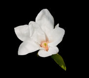 Fleur d'arbre de tulipe Image libre de droits