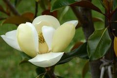Fleur d'arbre de tulipe images libres de droits