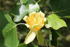 Fleur d'arbre de tulipe ou de tulipifera de Liriodendron Photo libre de droits