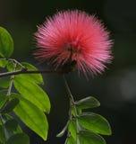 Fleur d'arbre en soie Photographie stock