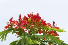 Fleur d'arbre flamboyant Photos libres de droits
