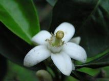 Fleur d'arbre orange Image libre de droits
