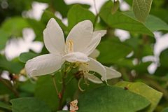 Fleur d'arbre d'orchidée de Milou, arbre indigène vers Asie du Sud-Est photo libre de droits