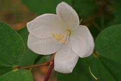 Fleur d'arbre d'orchidée de Milou, arbre indigène vers Asie du Sud-Est photographie stock