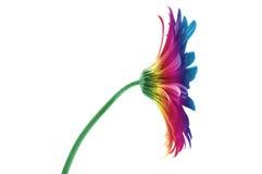 Fleur d'arc-en-ciel Photographie stock