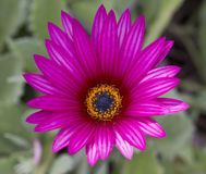Fleur d'Arctotis Image libre de droits