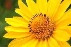 Fleur d'arnica dans le jardin Photographie stock