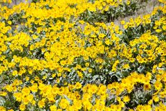 Fleur d'Arrowleaf Balsamroot Photo stock