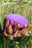 Fleur d'artichaut Images libres de droits